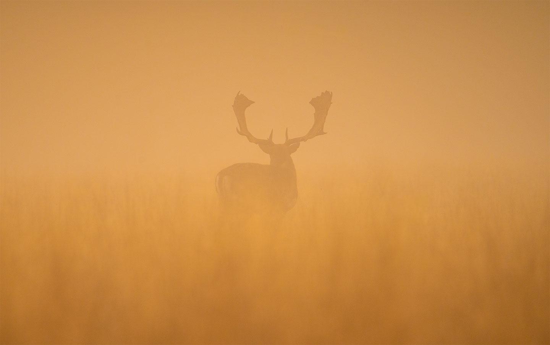 Køb Fallow deer stag at dawn av Daniel Faisst