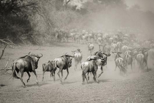 Wilderbeest in Serengeti av Julie Aucoin