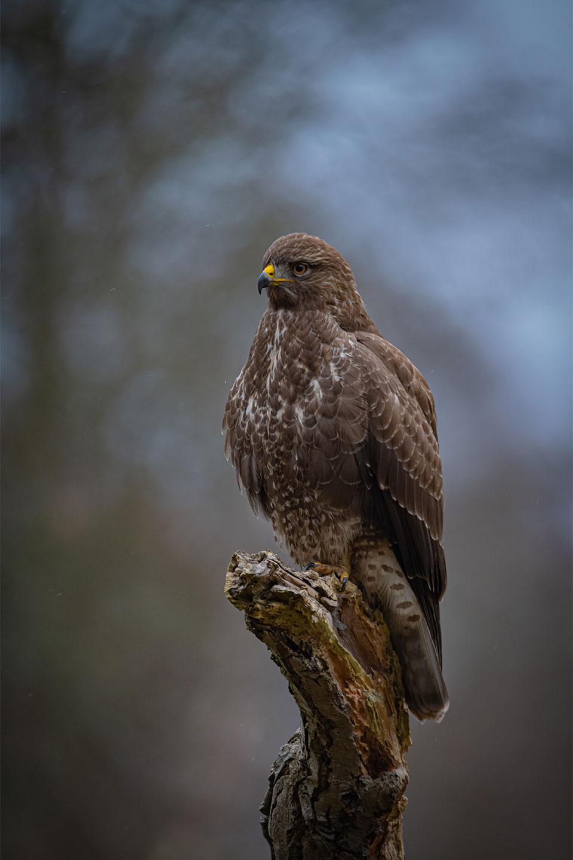 Køb The buzzard av Daniel Faisst